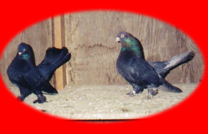 The statnije these are pigeons of the most dignified andnoble